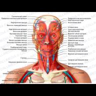 head-neck-anterior-view-organs.jpg